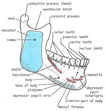 human mandible diagram sky hd wiring