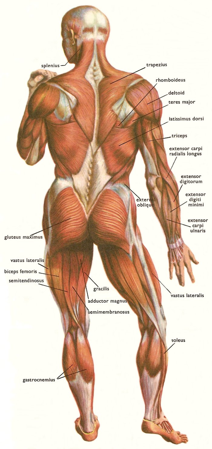 hight resolution of muscles at the back of the human body