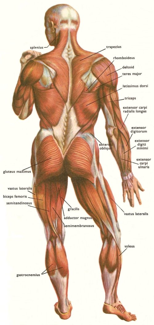 small resolution of muscles at the back of the human body