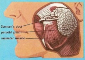 The parotid gland and stenson duct