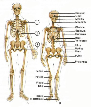 Image result for male and female skeleton differences