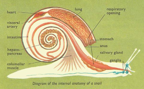 slug anatomy diagram 3 way switch pilot light wiring snail internal jpg