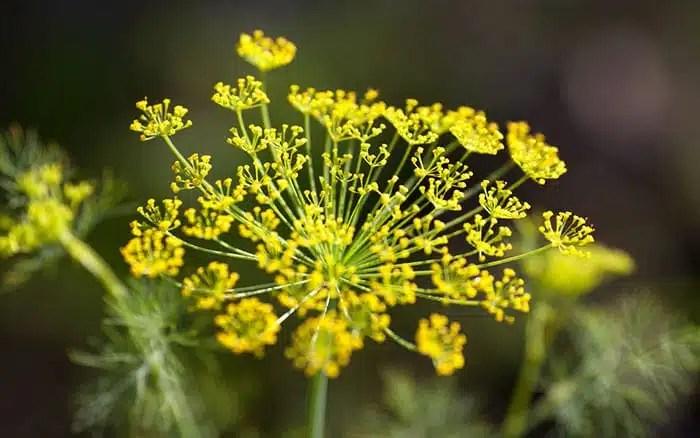 bronze-fennel-flowers