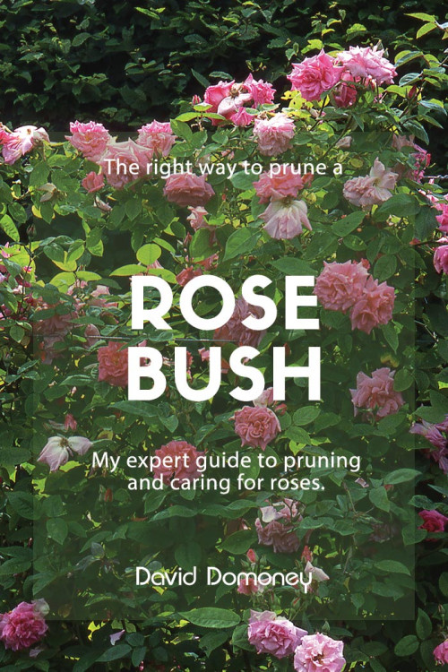 to plant a new rose bush in the garden