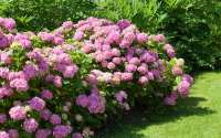 How to divide perennial plants and split oversize shrubs ...