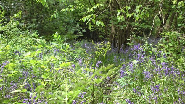 Bluebell time in Greenwood Park