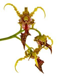 Dendrobium Spectabile Copyright David Leaser(1)