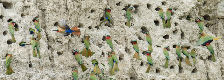 Red throated Bee Eaters