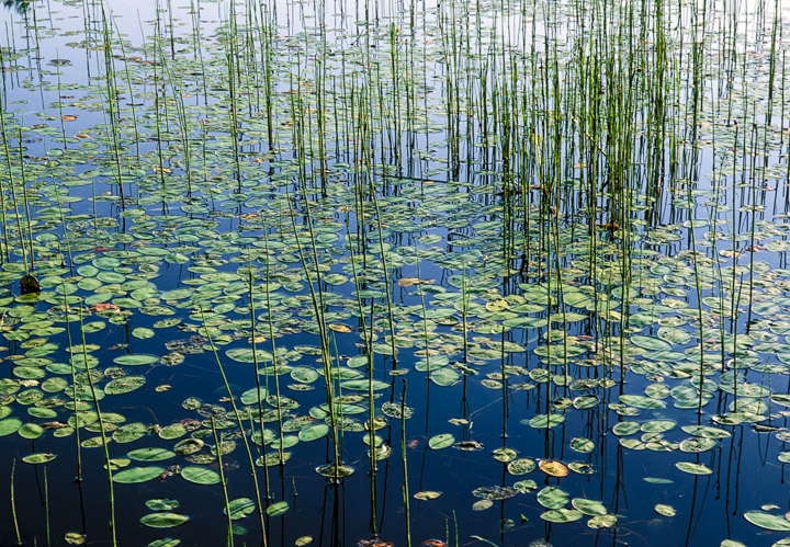 lefferts lilies