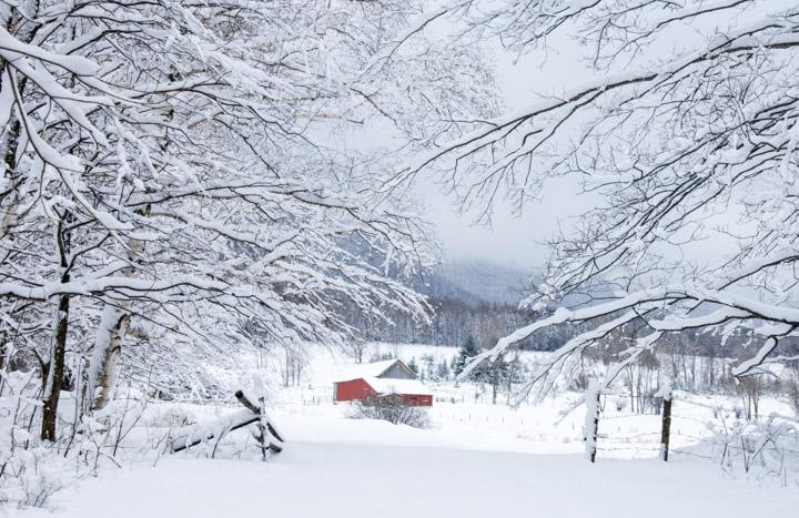 snowy heifer barn