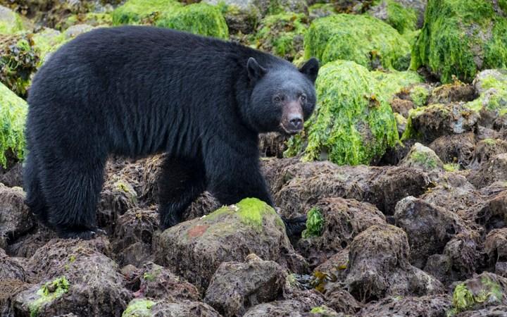 Black Bears of Tofino, BC