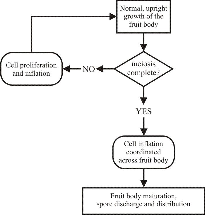 Gravitropism as a morphogenetic model