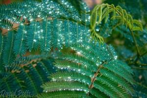 Mimosa in the Rain