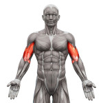 exercices-de-musculation-des-biceps