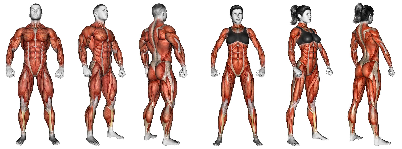 Superbe Exercices de musculation classés par muscle - conseils sportifs #QV_72