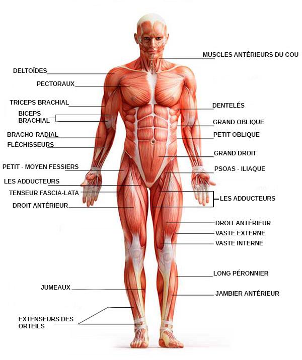 les-muscles-antérieurs-du-corps