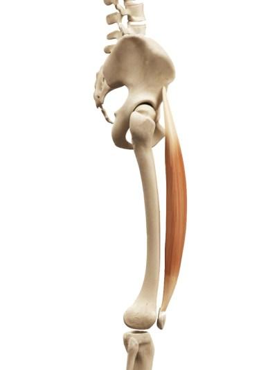 muscle droit-antérieur