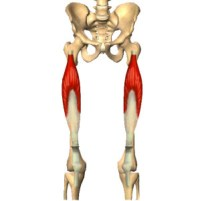 le-muscle-crural