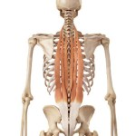 exercices-musculation-pour-les-lombaires