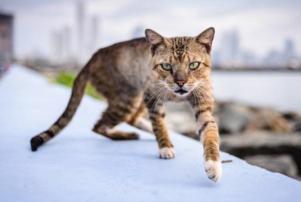 Wild cat – Panama City