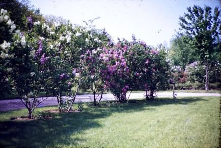 Nature - Lilacs - Spring - Hutch