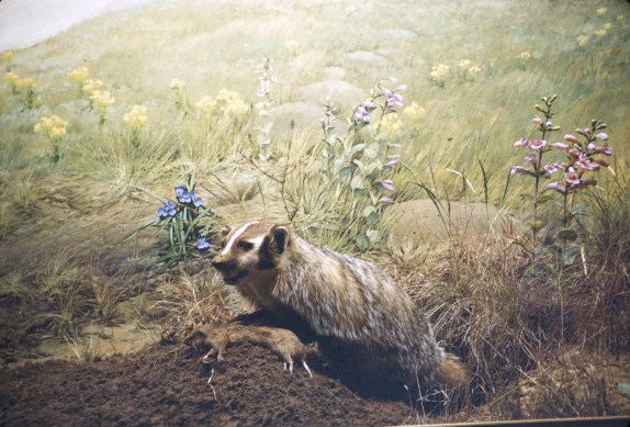 Museum of Natural History, University of Minnesota - Badger