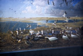 Museum of Natural History, University of Minnesota - Blue Snow Geese - White Snow Geese