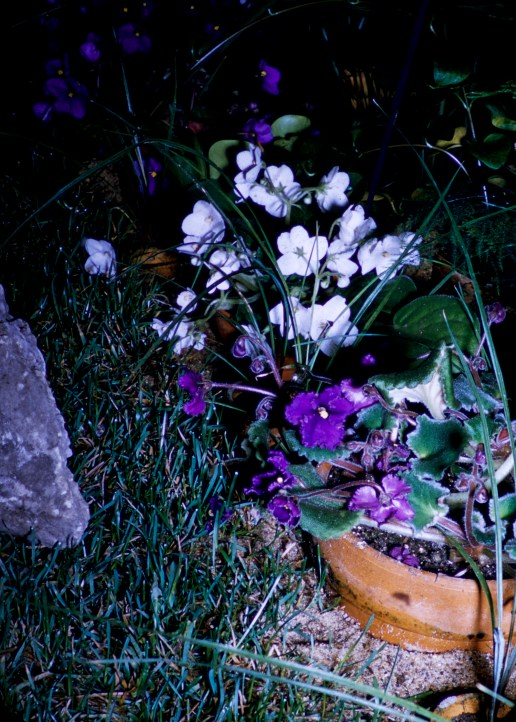 Loring Park - African Violets - Mum Show