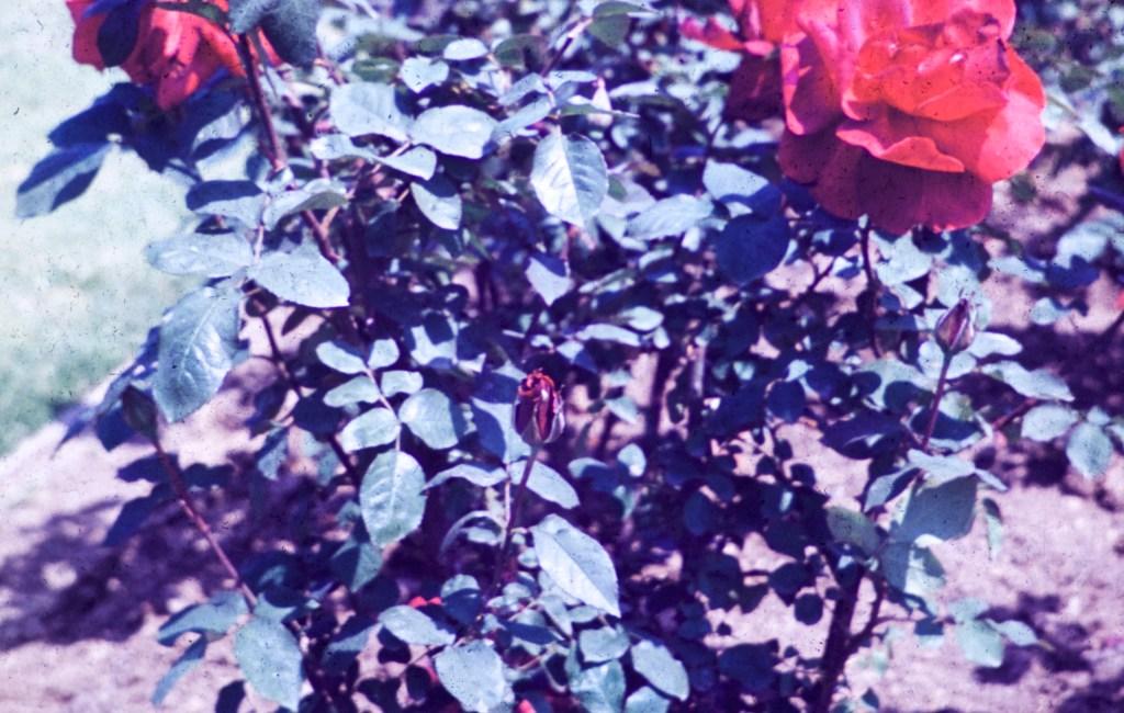 Exposition Park – Rose Garden