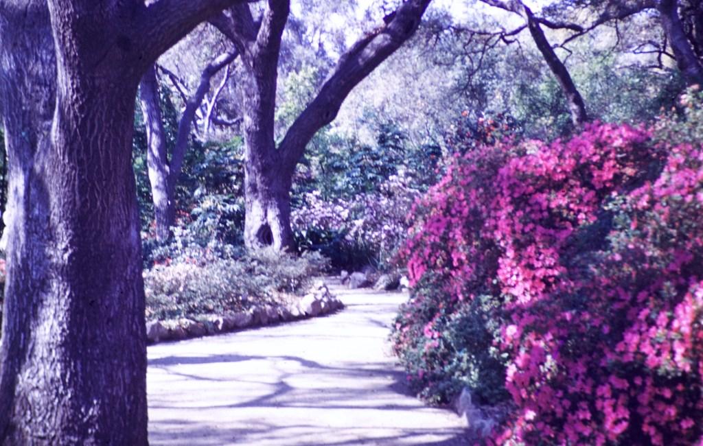 Huntington Library and Art Gallery – Azalea Gardens