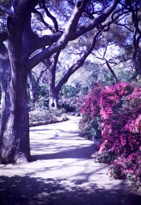 Huntington Library and Art Gallery - Azalea Gardens