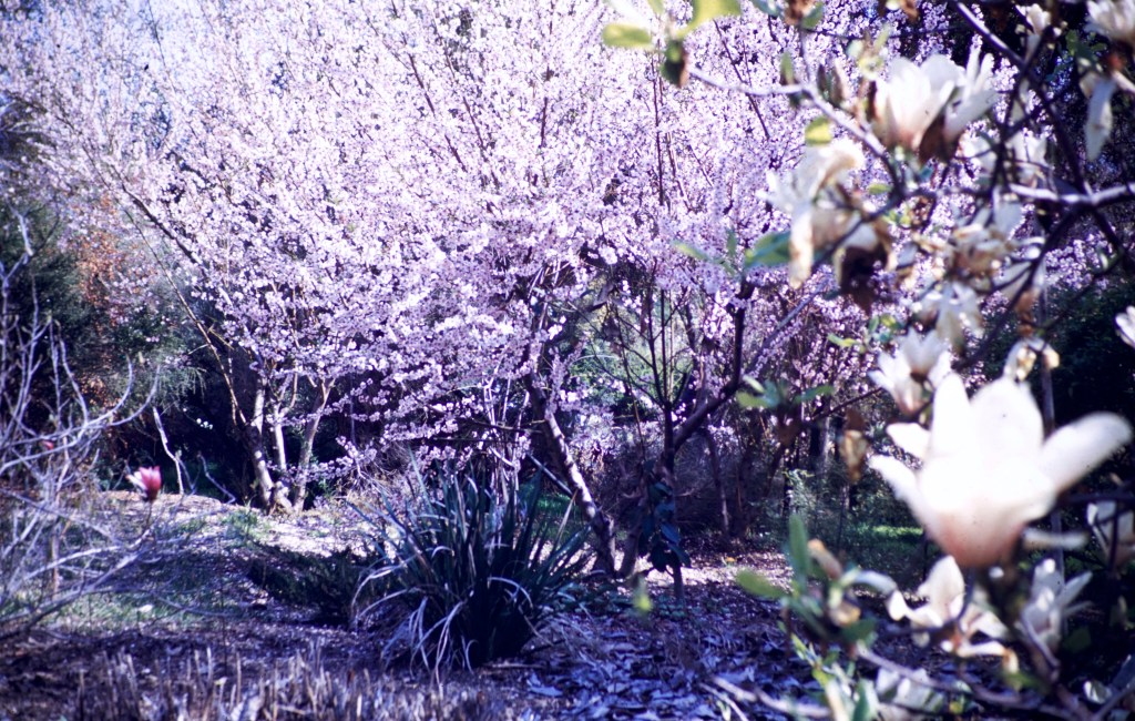 Huntington Library and Art Gallery – Cherry Blossoms and Magnolia
