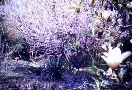 Huntington Library and Art Gallery - Cherry Blossoms and Magnolia