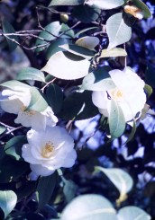 Huntington Library and Art Gallery - White Camelia