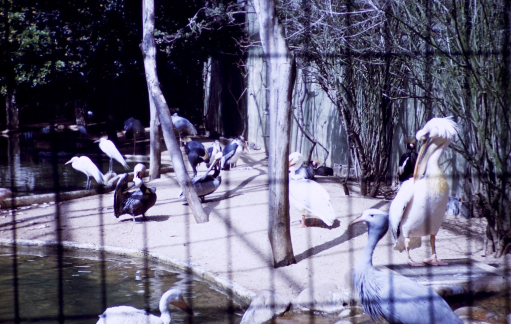 San Francisco – Aquatic Birds – Fleischhacker Zoo