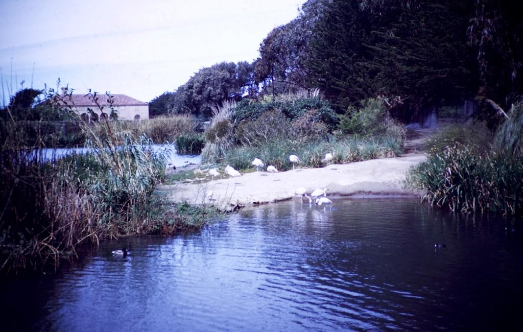 San Francisco – Flamingo – Fleischhacker Zoo