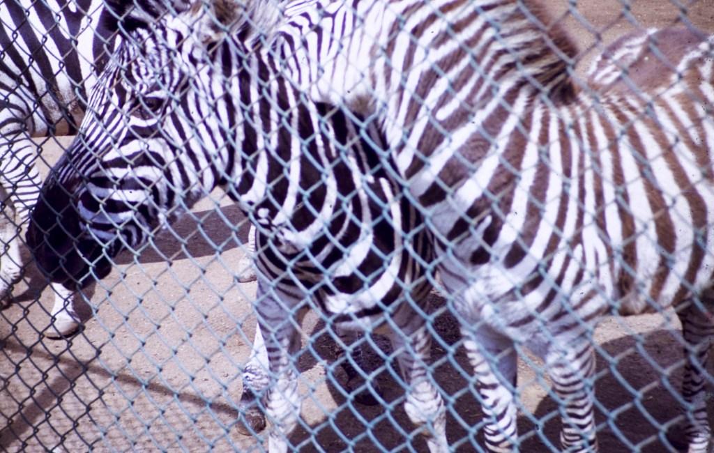 San Francisco – Zebra – Fleischhacker Zoo