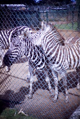 San Francisco - Zebra - Fleischhacker Zoo