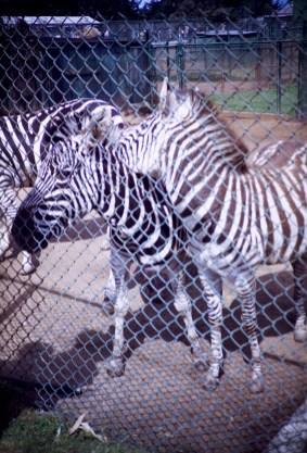 San Francisco - Zebra - Fleischhacker Zoo