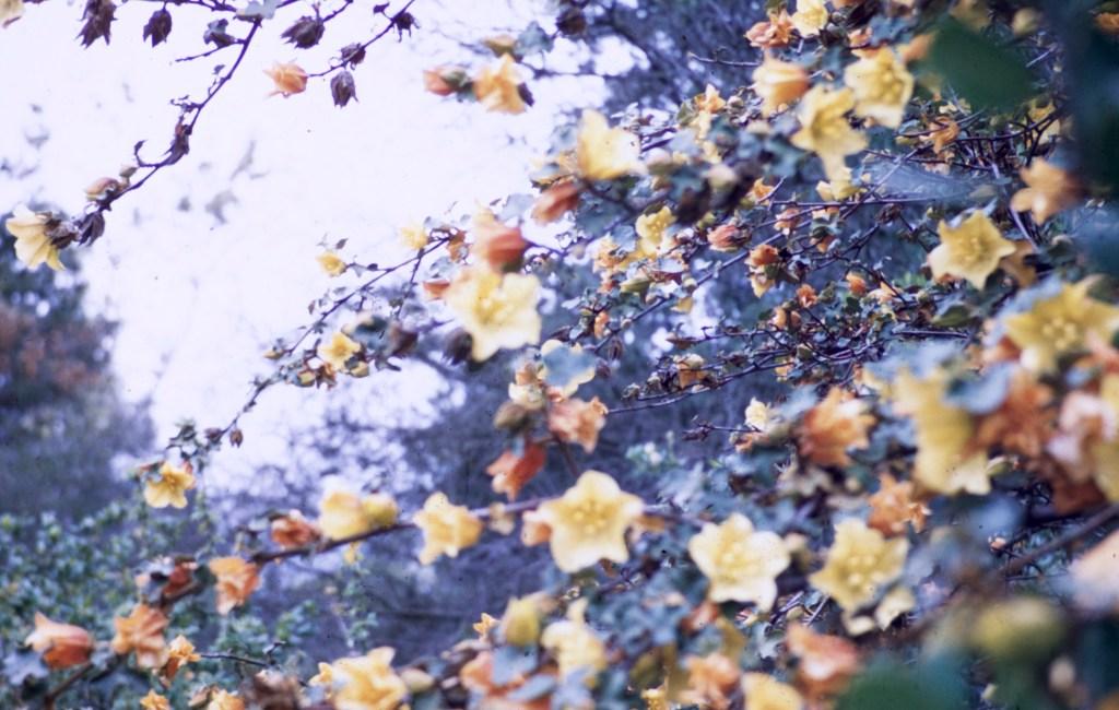 Santa Barbara – Botanical Garden – California Flannel Bush