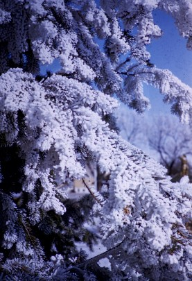 Winter - Hoar Frost