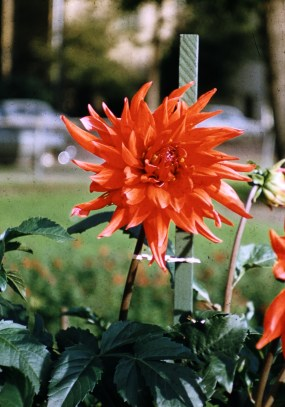 Municipal Gardens, Minneapolis, MN - Red Dahlia