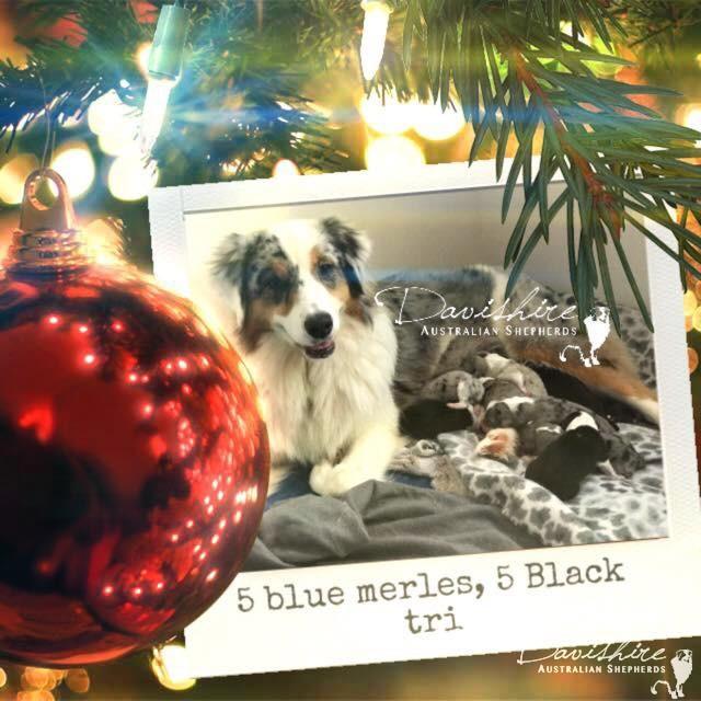 2017 Christmas Litter – Australian Shepherd Puppies BORN