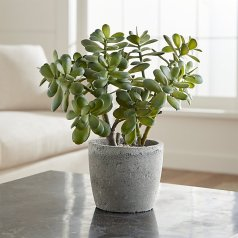 Jade plant from Anna