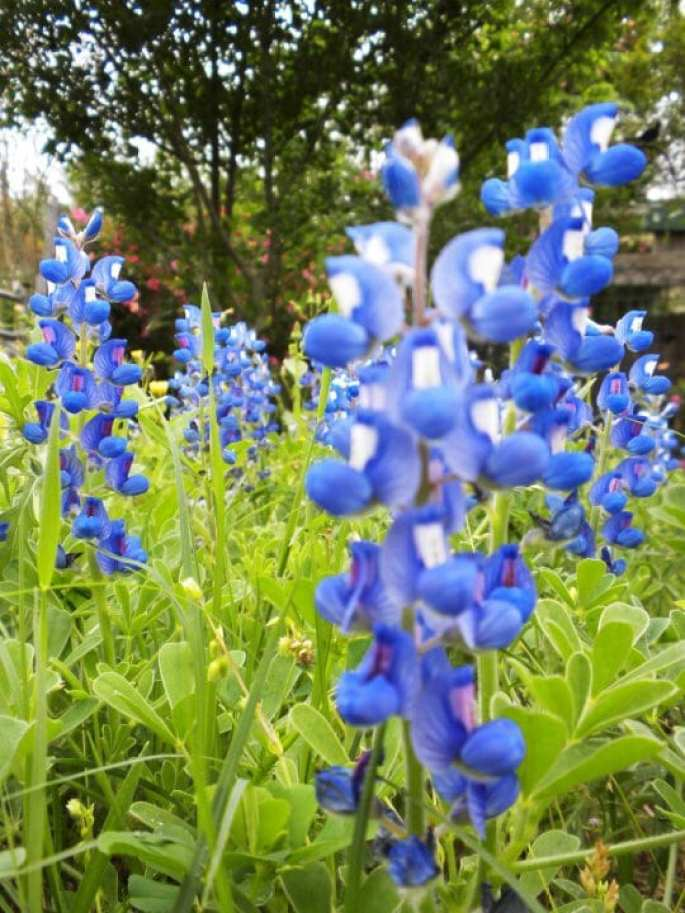 texas bluebonnets, bluebonnet trails