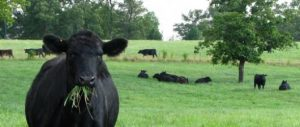 grass-fed-cow-large