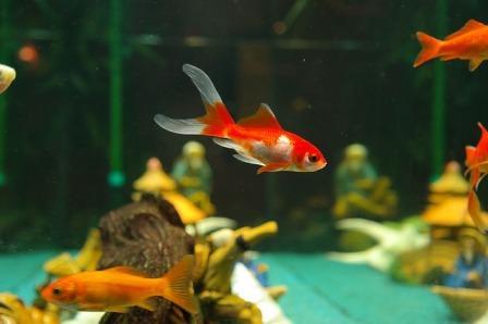 harga ikan hias 2015