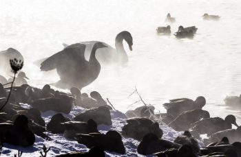 Ducks and swans communing in the mist