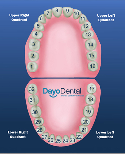 diagram of the four quadrants sony radio wiring harness teeth numbers and names - human chart