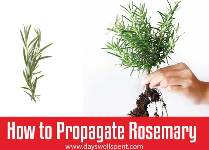 How to Propagate a Rosemary Plant from Stem Cuttings - Days